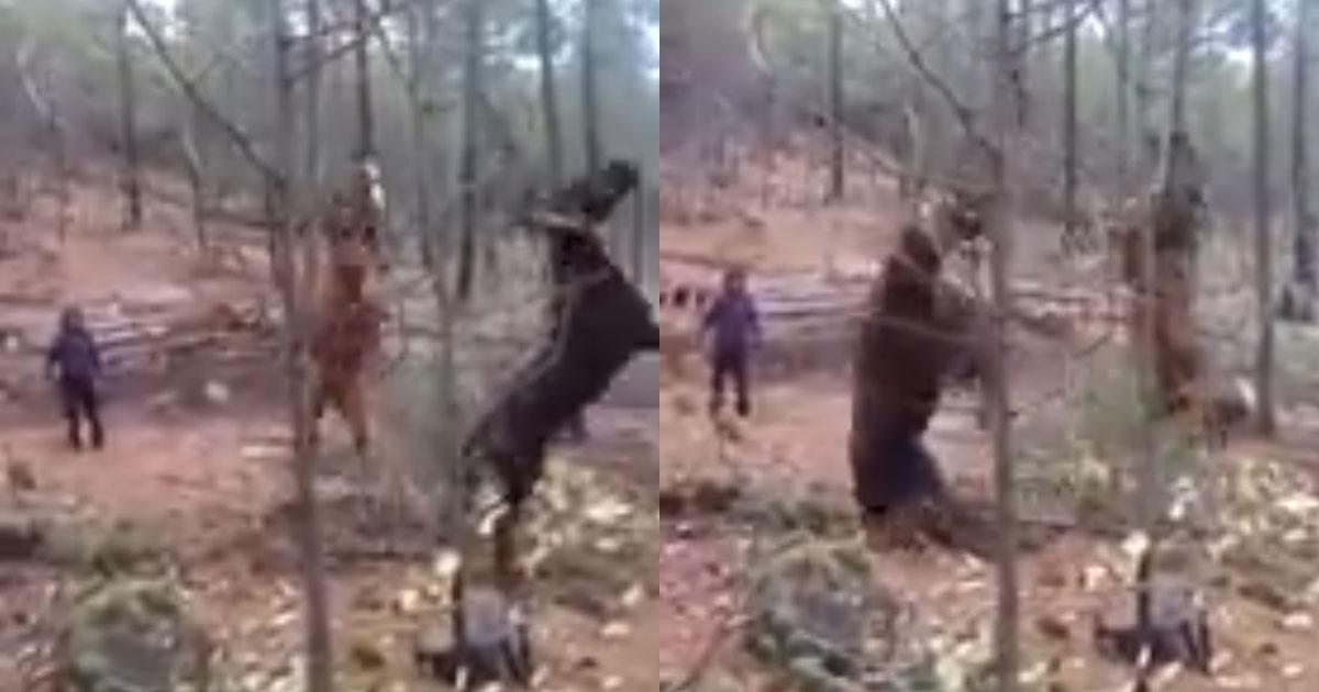 They tie horses to logs and throw them into the air, rescue these animals and investigate this animal abuse