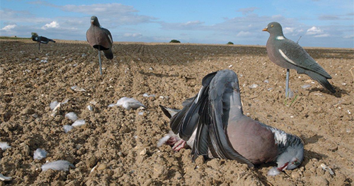 Salvar os pombos