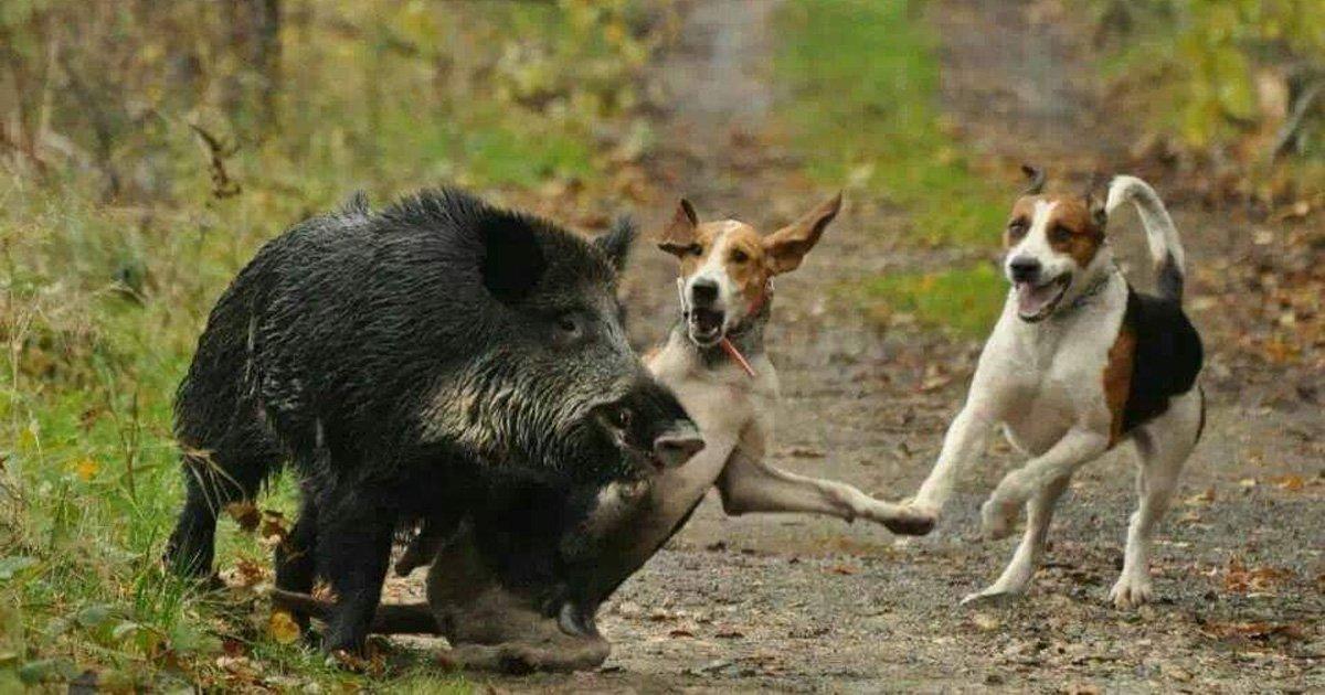 Interdire l'élevage des sangliers pour les chasser quand ils dépassent l'âge de 10 mois