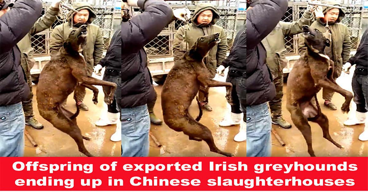 Ask the Irish government to ban the sale of greyhounds to be food in China